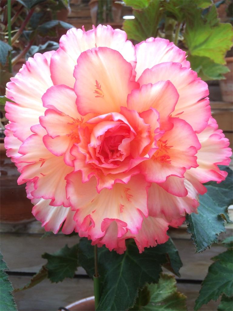 なばなの里 ベゴニアガーデン 一輪の花