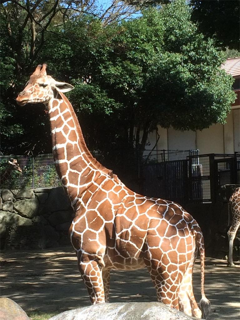 金沢動物園 キリン アップ