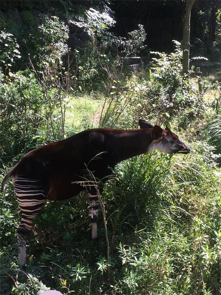 金沢動物園 オカピ 世界四大珍獣