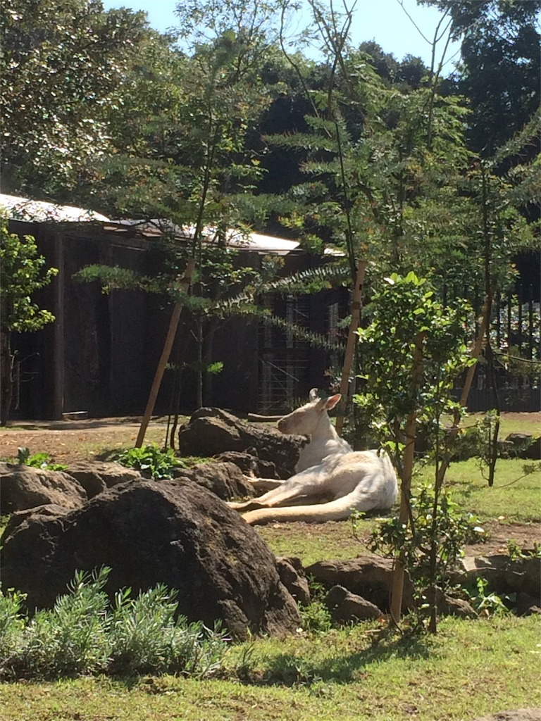 金沢動物園 白いカンガルー