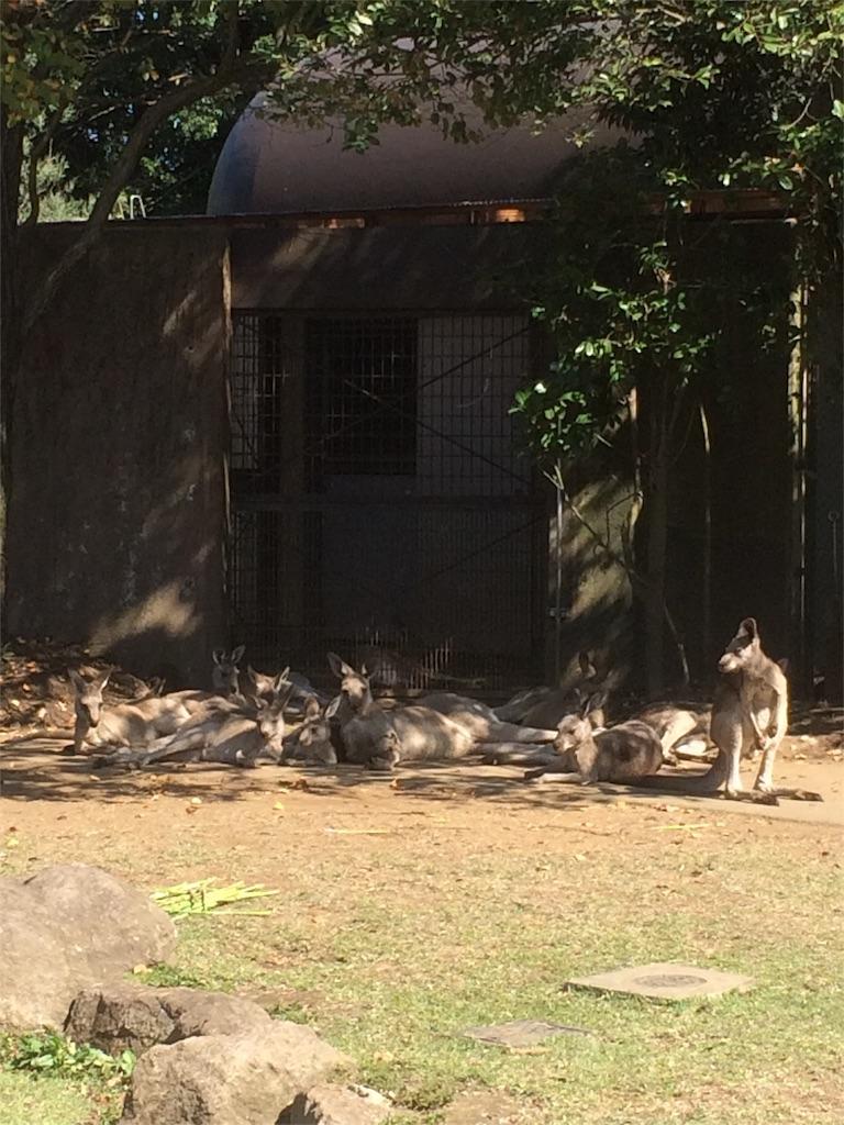金沢動物園 カンガルー 大群