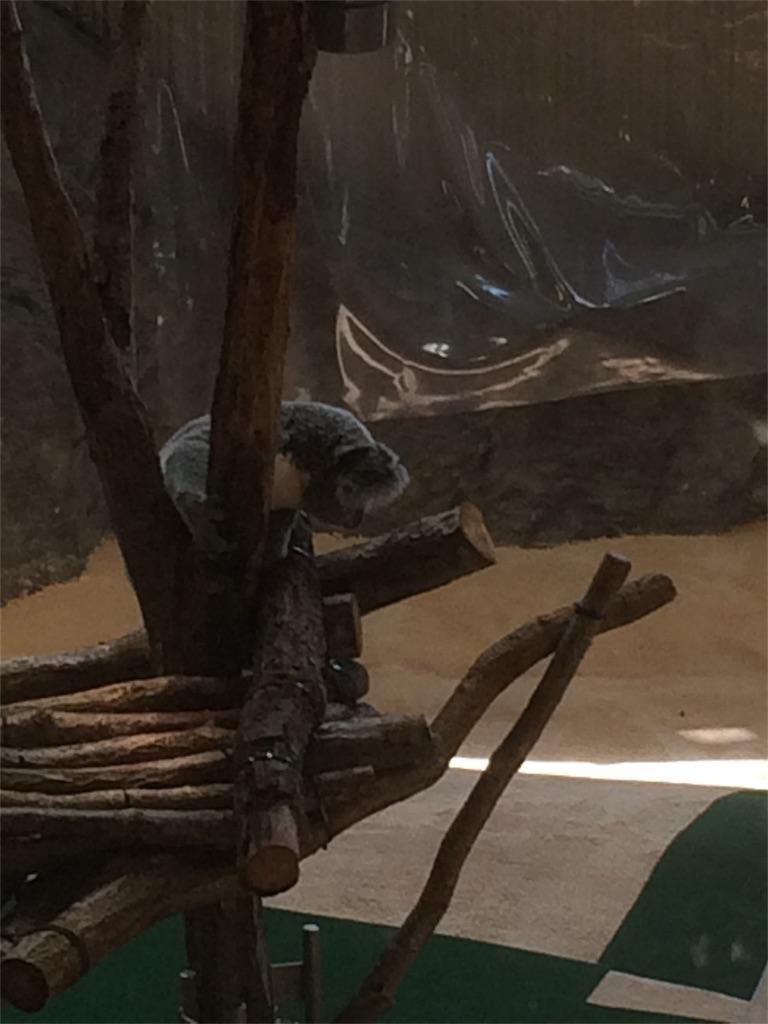 金沢動物園 コアラ 爆睡