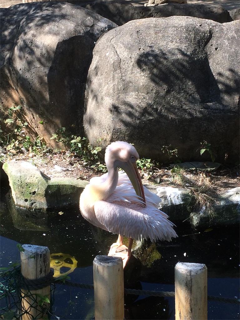 金沢動物園 モモイロペリカン