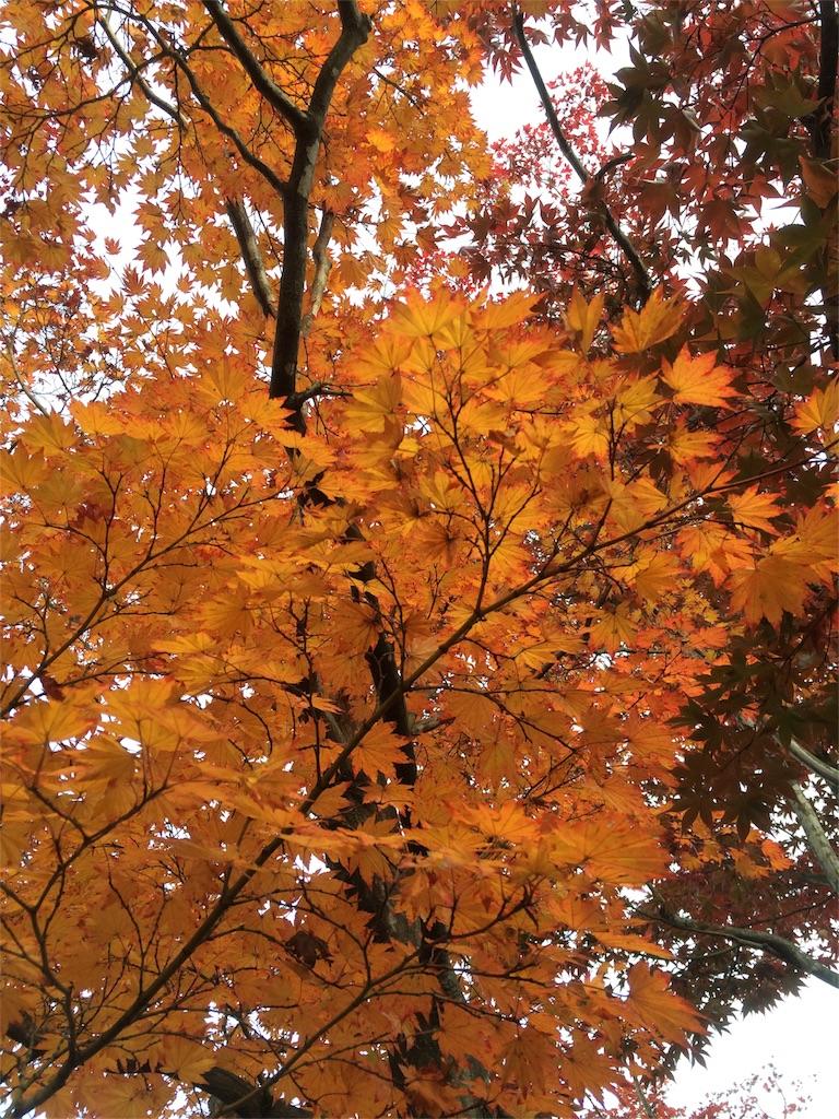 昭和記念公園 オレンジのモミジ