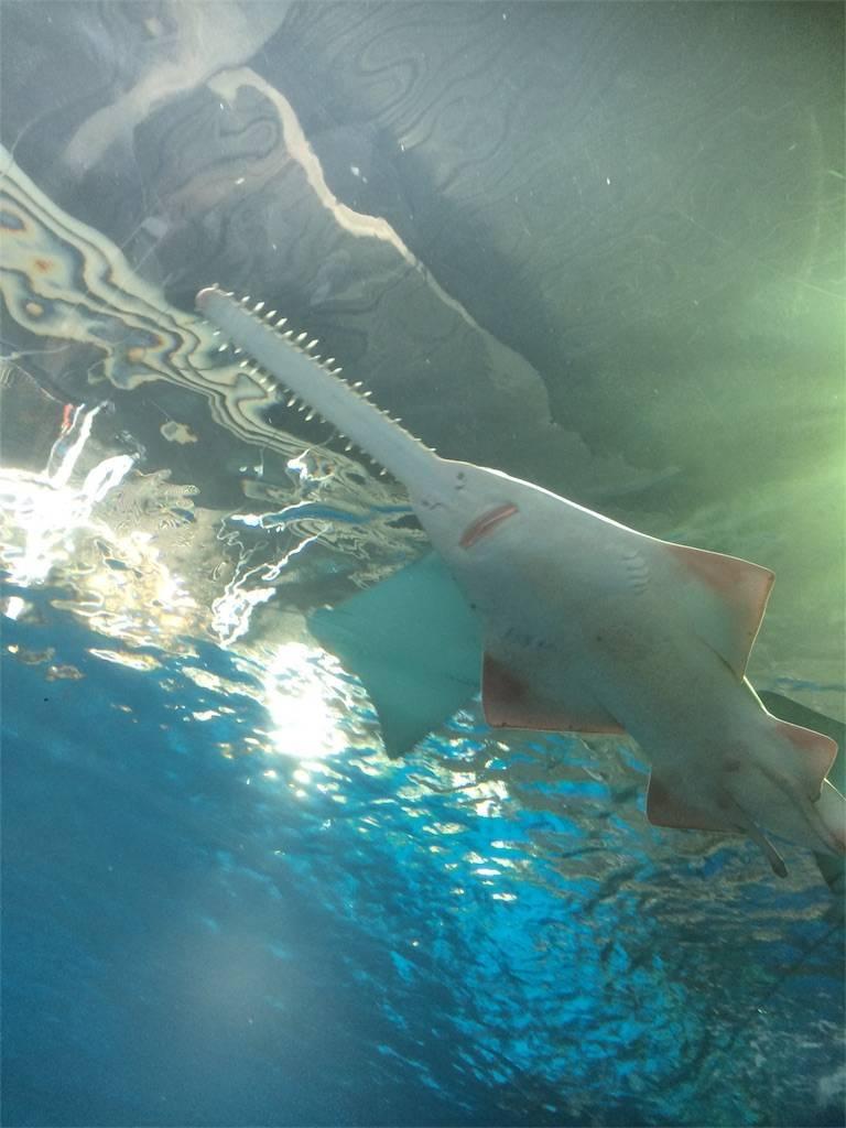 アクアパーク品川 水族館 ノコギリザメ