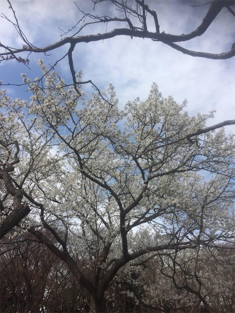 お花見 根岸森林公園 2018年
