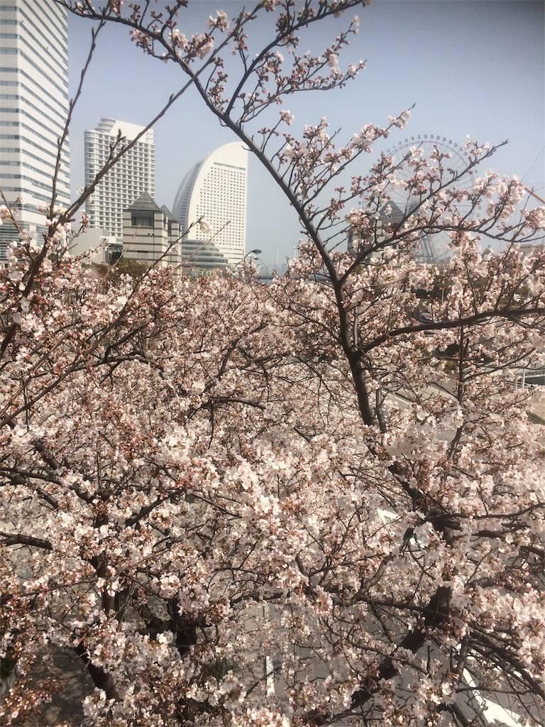横浜 桜 コンチネンタル 2018年