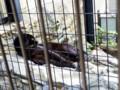 [旭山動物園]クロヒョウ