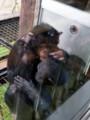 [旭山動物園]チンパンジー