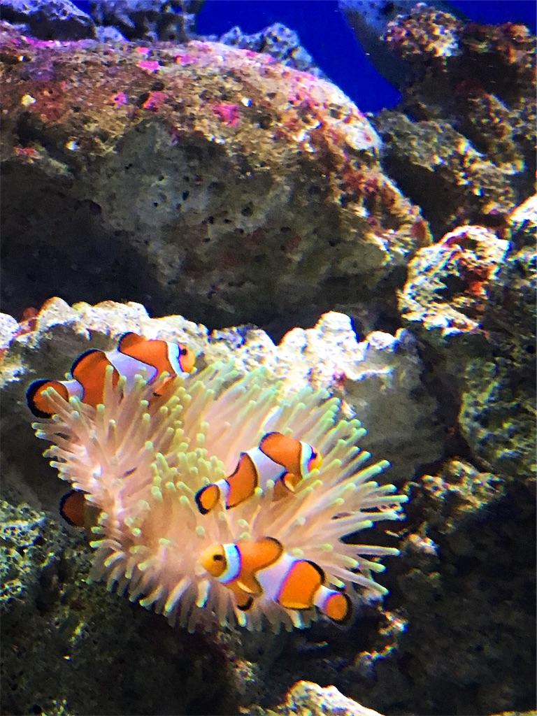 新江ノ島水族館のカクレクマノミ