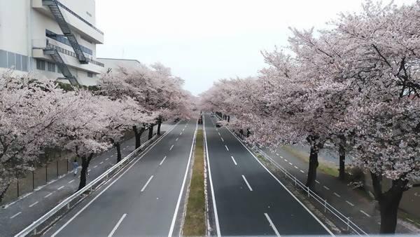 かしの森公園 桜並木