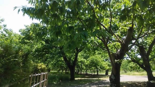 宇都宮市若山農場 栗園