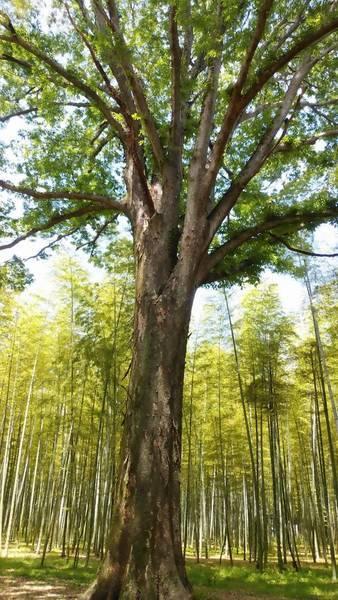 宇都宮市若山農場 ケヤキの木