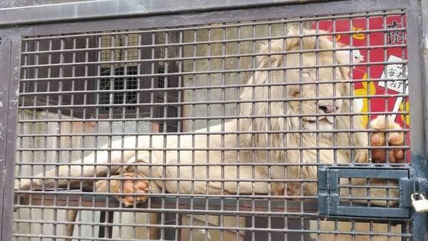 宇都宮動物園ホワイトライオン