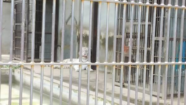 宇都宮動物園ホワイトタイガー