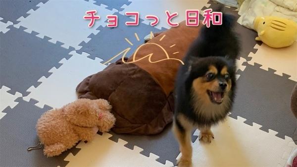 チョコ 犬 ポメラニアン