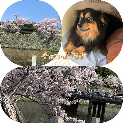 彦根城の桜、チョコ