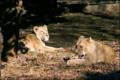 食肉目ネコ科 インドライオン(よこはま動物園ズーラシア)