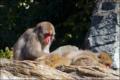 霊長類オナガザル科 ニホンザル(よこはま動物園ズーラシア)