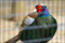 野毛山動物園のニホンキジ
