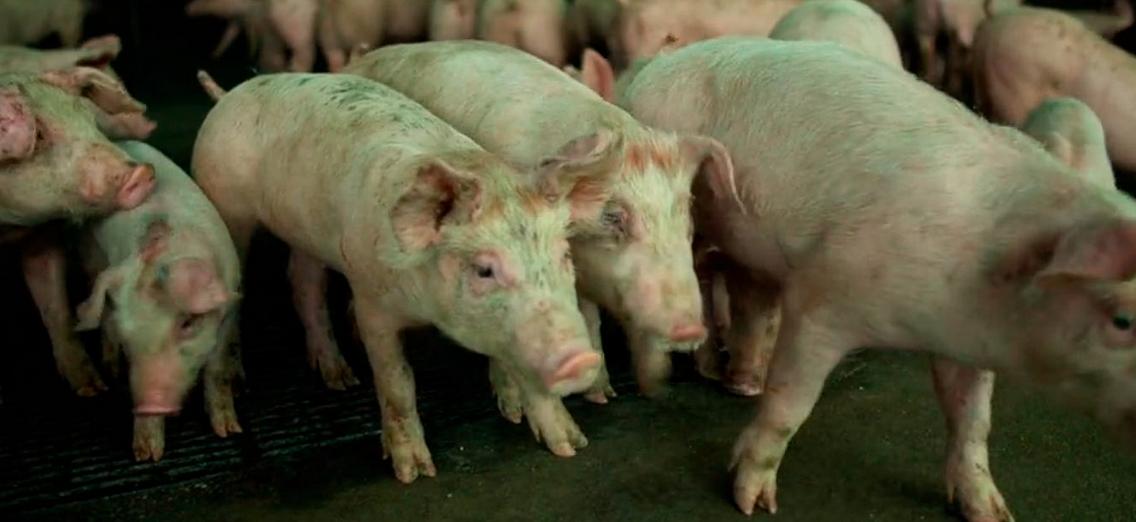 映画コンテイジョンの感染源の豚