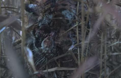 『キングダム:アシンの物語』のゾンビ虎