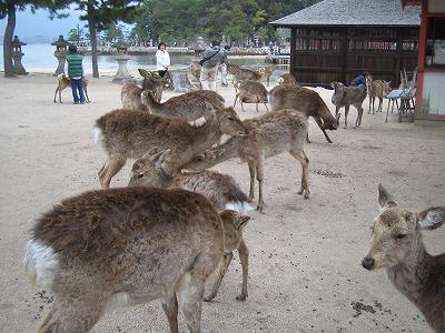 たくさんの鹿