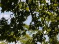 [カナダ・北米旅行]シュガー・メイプルの木