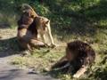 [動物]ライオン