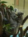 [動物]コアラの赤ちゃん