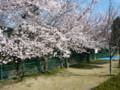 田井西公園の桜2