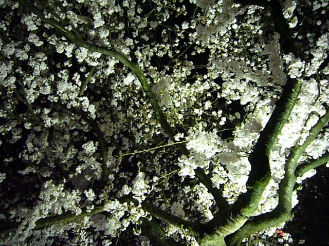 夜桜(クリックで拡大画像)