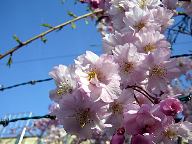 鉄条網の桜(クリックで拡大画像)
