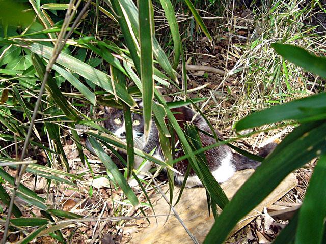潜行する猫(クリックで拡大画像)