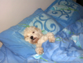 Odie in bed on Flickr - Photo Sharing!