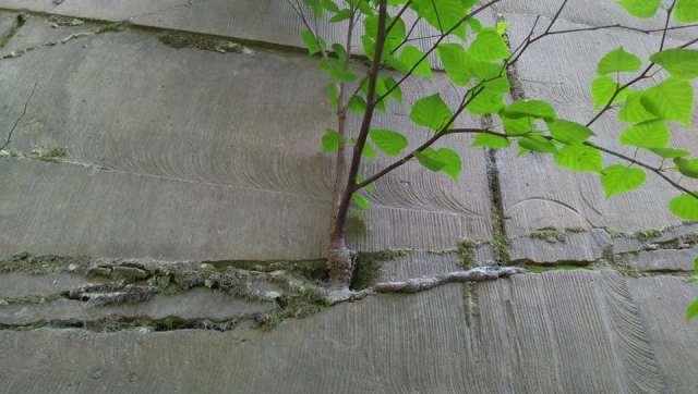 札幌市南区石山緑地で石の隙間に根を張る植物
