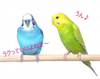 止まり木にとまっている2羽のセキセインコ