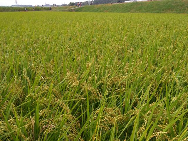 稲も見られます