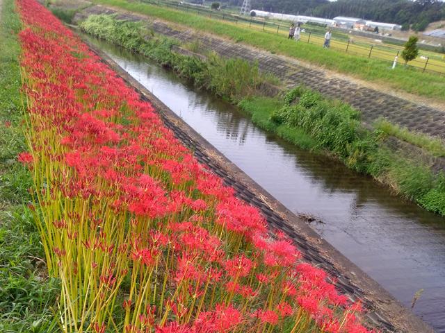 川沿いはよく咲いていました