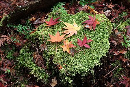 オオモミジ落ち葉