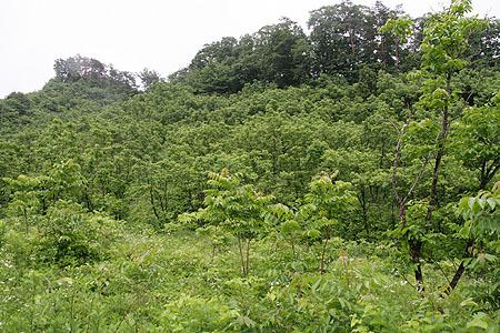 日本最大のウルシ林