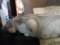 カネチョロの尻尾2