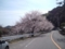 こっちは早くも桜満開模様。