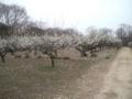 相生山オアシスの森は梅が満開です。
