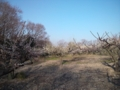 相生山オアシスの森の梅が満開です。