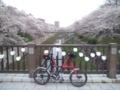 山崎川の桜満開だよー!