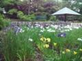 鶴舞公園は花菖蒲が見ごろですよー。