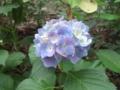 鶴舞公園の紫陽花が本気出してきたよ。