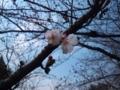 鶴舞公園桜咲いたよ!