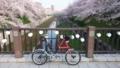今年の山崎川も綺麗な桜